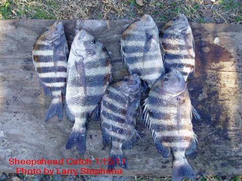 Sheepshead | Just Kayak Fishing Are Saltwater Sheepshead Fish Good To Eat