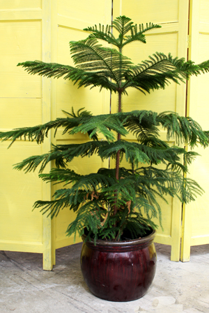 norfolk_island_pine_small Norfolk Pine Care House Plant on jasmine plant care, flowers plant care, areca palm plant care, creeping fig plant care, dragon tree plant care, mango plant care, morning glory plant care, african violet plant care, maidenhair fern plant care, easter lily plant care, chinese evergreen plant care, trumpet vine plant care, boston fern plant care, marble queen plant care, boxwood plant care, tulip plant care, asparagus fern plant care, weeping fig plant care, paradise palm plant care, confederate rose plant care,