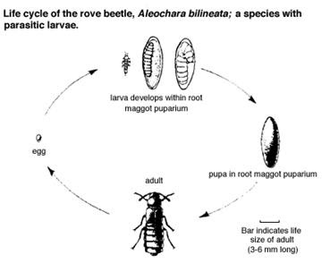 Healthy Quest: Beware of Rove Beetle, Poisonous Insect