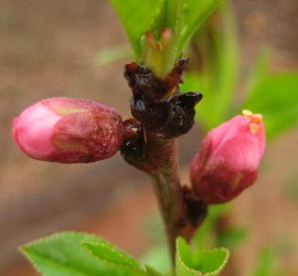 Little pink peach buds!