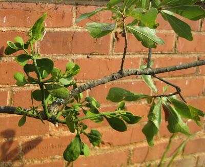 Mistletoe infestation on my oak trees.