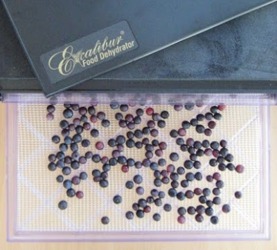 Drying rabbiteye blueberries