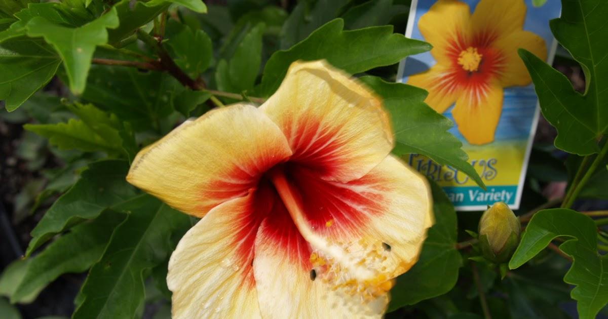 Hibiscus Rosa Sinensis Cuban Variety