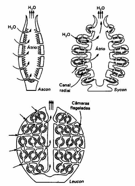 PHYLLUM PORIFERA ~ Biología General
