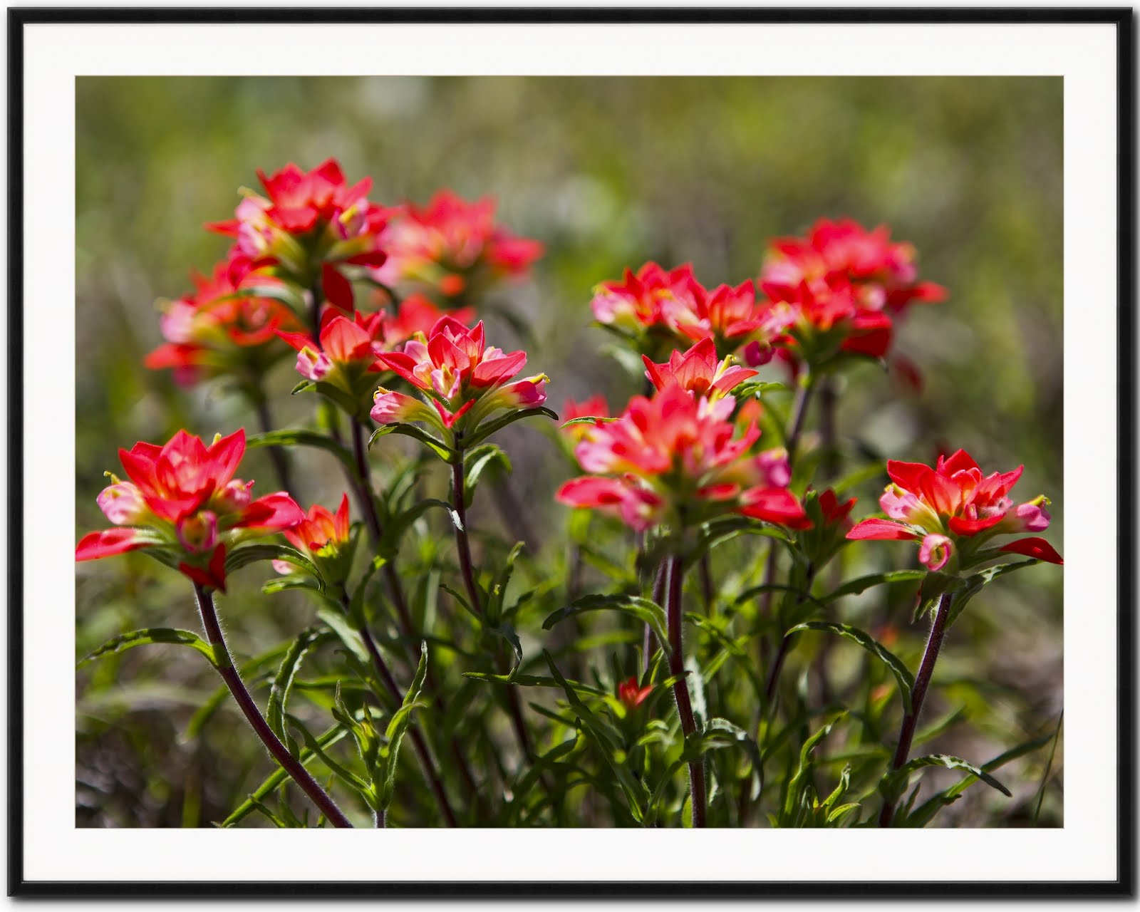 Artistic Images Photography: Oklahoma Wildflowers