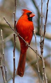 Cardinal, North Carolina state bird