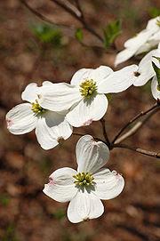 Dogwood, North Carolina state flower