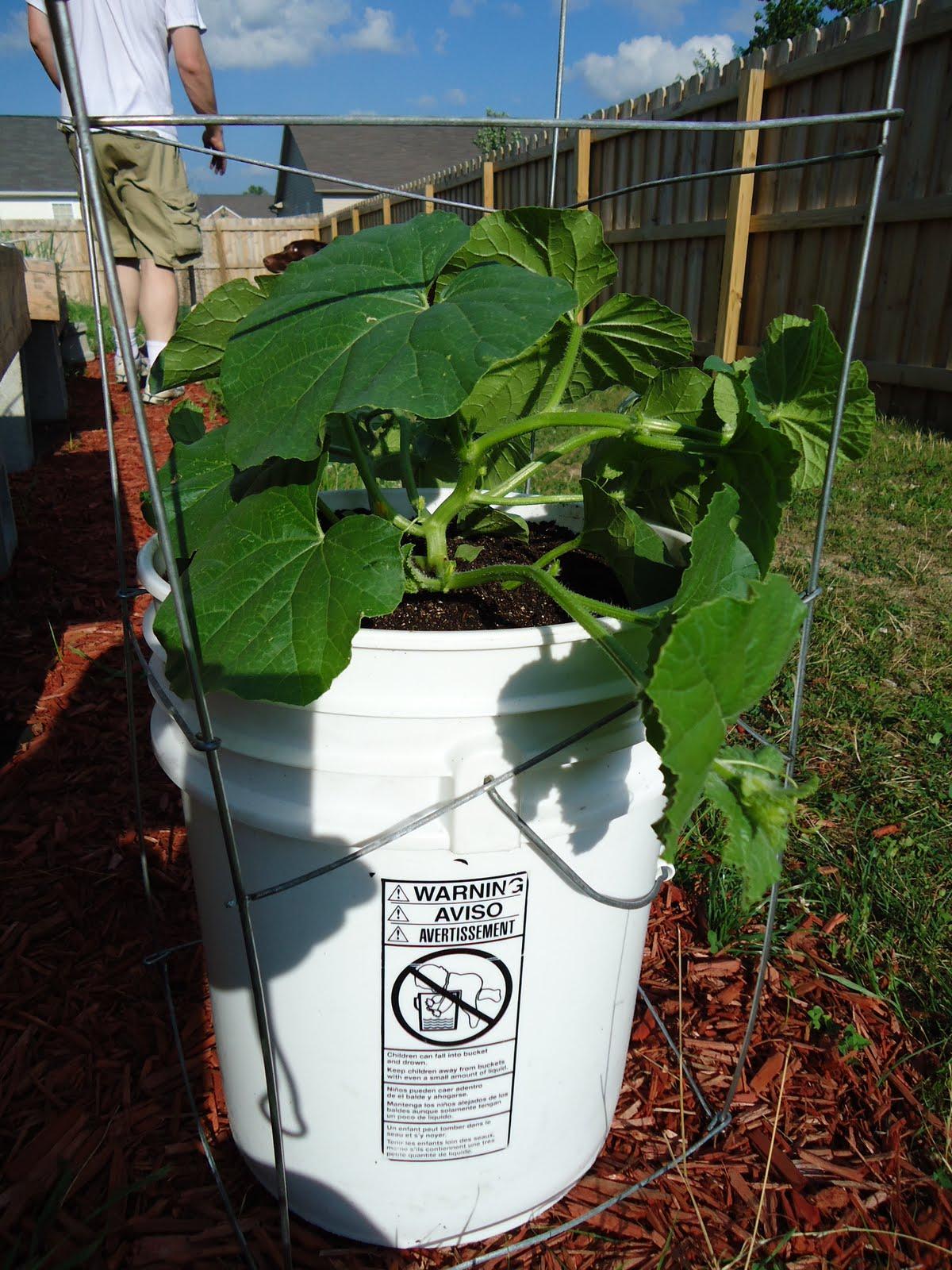 Growing Supermarket Cantaloupe