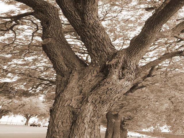 Tronco de árbol retorcido