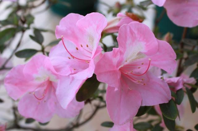 Flor de azalea.