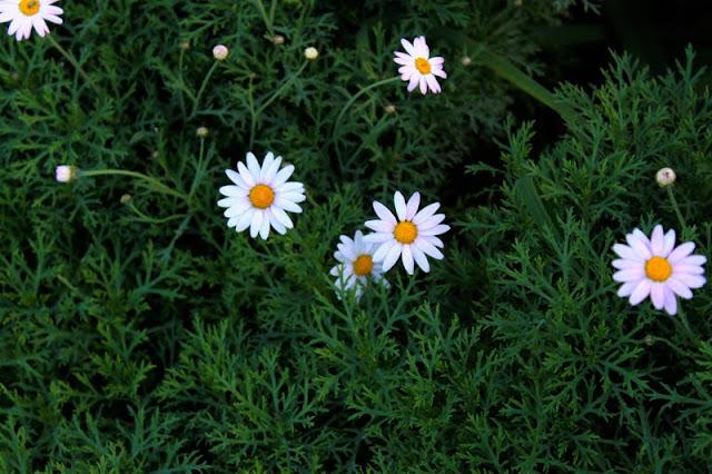Flores de margaritas.