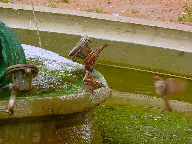 Pájaros bebiendo en una fuente de agua.