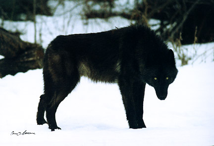 Black wolf animal images for Black wolf fish