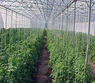 Urbanres el tomate se siembra en la mitad del mes de - Como preparar las judias verdes ...
