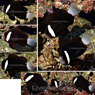 Captive breeding of the rare McCulloch's Clownfish ... |Mccullochi Clownfish