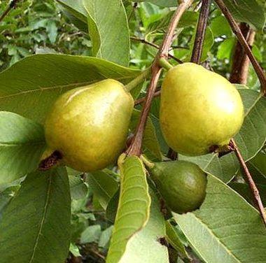 Cultura guaran informaci n sobre la guayaba for Tipos de arboles y su significado