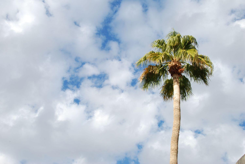 Pachypodium Lamerei Rare Madagascar Palm Plant Cactus ...   Name Cactus Palm Tree