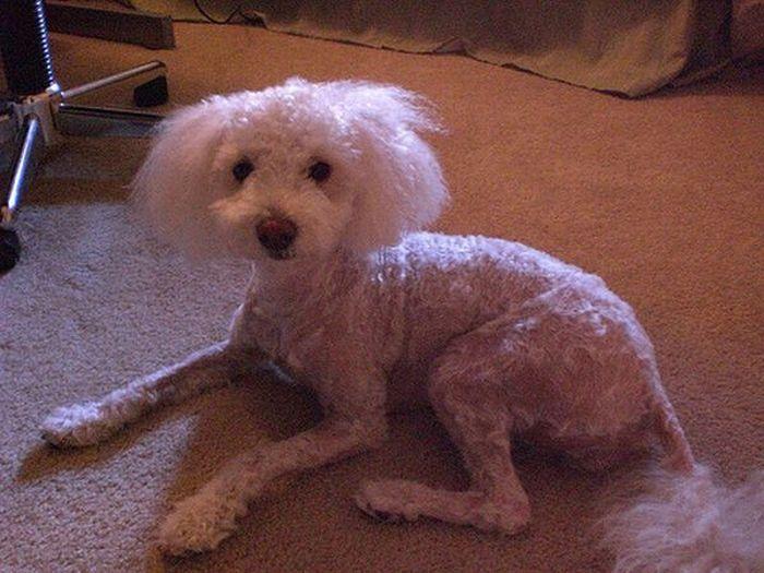 Terrific Best Photos Worst Dog Haircuts Ever Short Hairstyles For Black Women Fulllsitofus