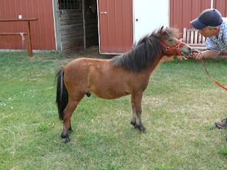 Miniature horses for sale: Dobson's Miniature And Straight ...