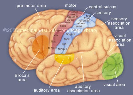 Stray Ideas: What is the purpose of the cerebral cortex?
