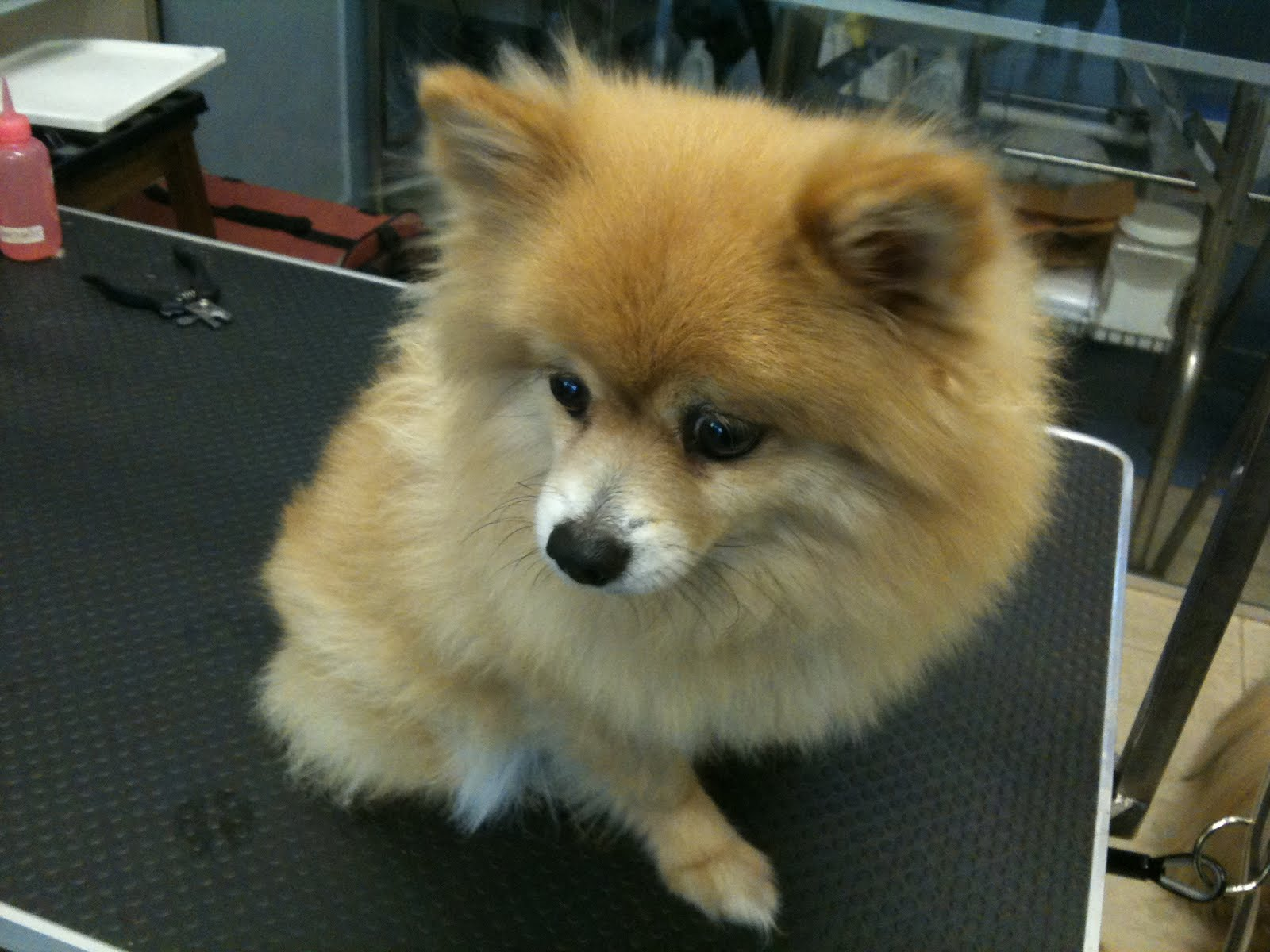 Pomeranian Puppy cut | Mobile Dog Stylists - Pet Grooming ...