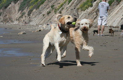 Hendry's Beach dogs at play
