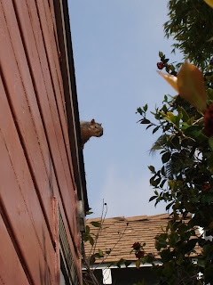 Squirrel on the roof in Burbank