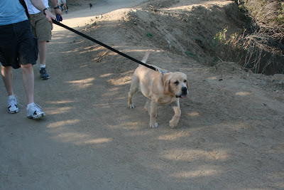 Cooper walking on his leash at Runyon Canyon