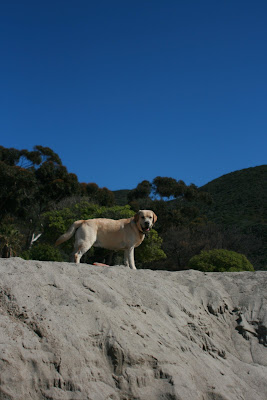Proud 10 month old Labrador pup