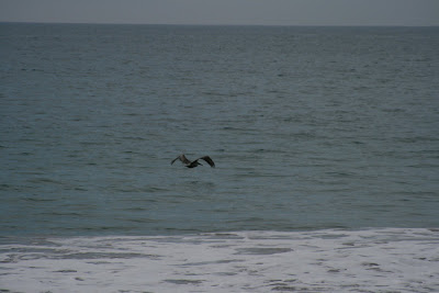 Pelican swooping over Pacific Ocean