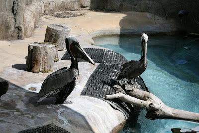 Pelicans at LA Zoo