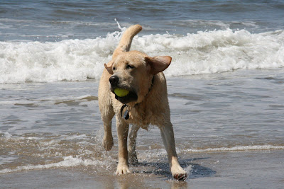 Tennis ball fun for beach pup