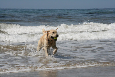 Cooper dashing through the surf