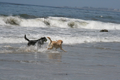 Dogs playing in the waves at Arroyo Burro Beach