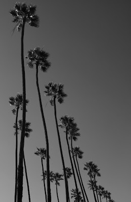 Santa Monica palm trees in mono