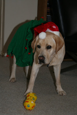 Santa's little Labrador helper