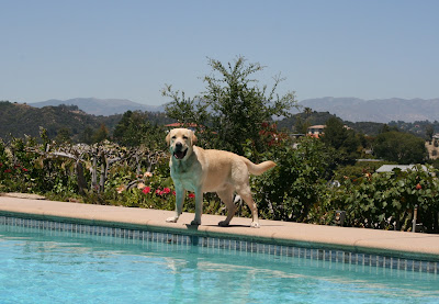 Bel Air pool Labrador