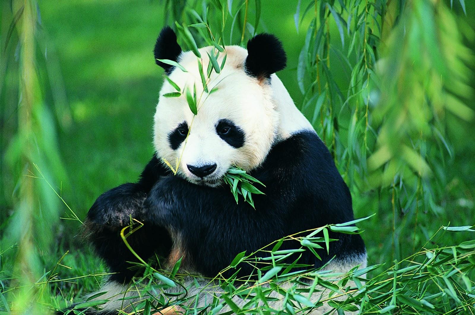 Fakta Unik Tentang Hewan Panda Fakta Unik Hewan Panda