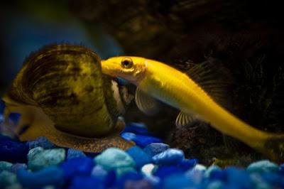 Aquarium Lore Golden Algae Eater
