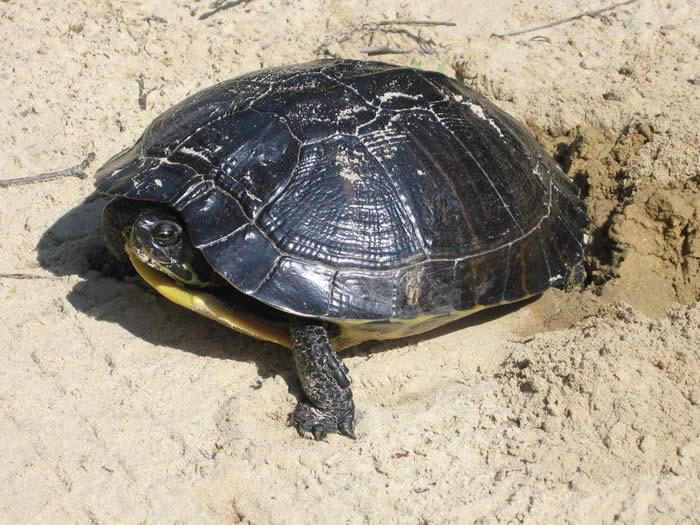 Pet Turtle Care: 2008-08-03|PET TURTLE CARE