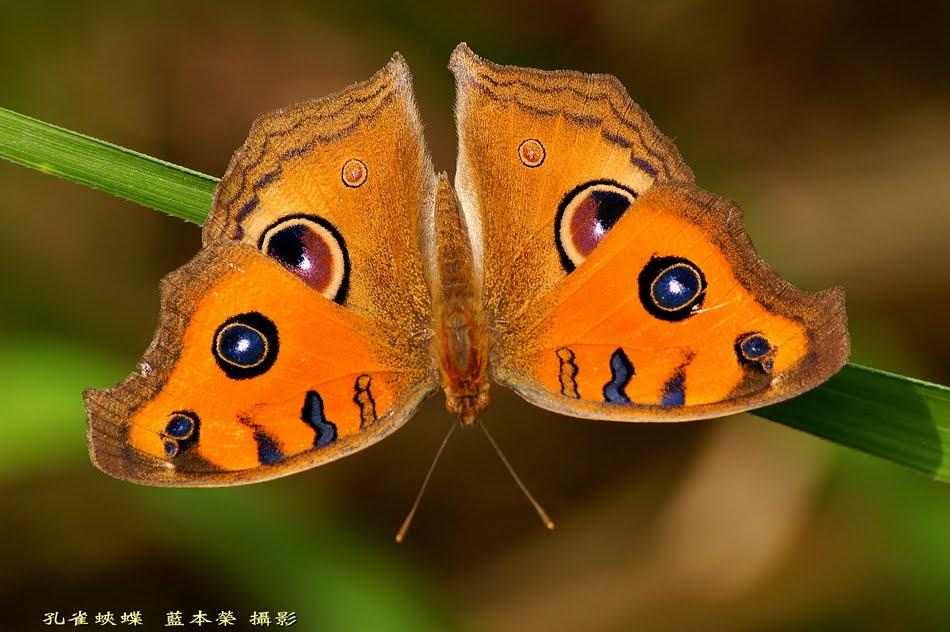 藍本榮老師臺灣生態寫真: 孔雀蛺蝶