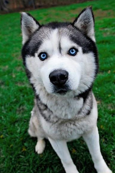 Breed Of The Week Siberian Husky And Alaskan Malamute