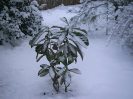 Old Man Winter: Japanese Plump Tree in Snow (February 13, 2010)