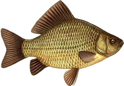 Asal Usul Ikan Hias Mas Koki | Budidaya Ikan | Ikan Hias ...