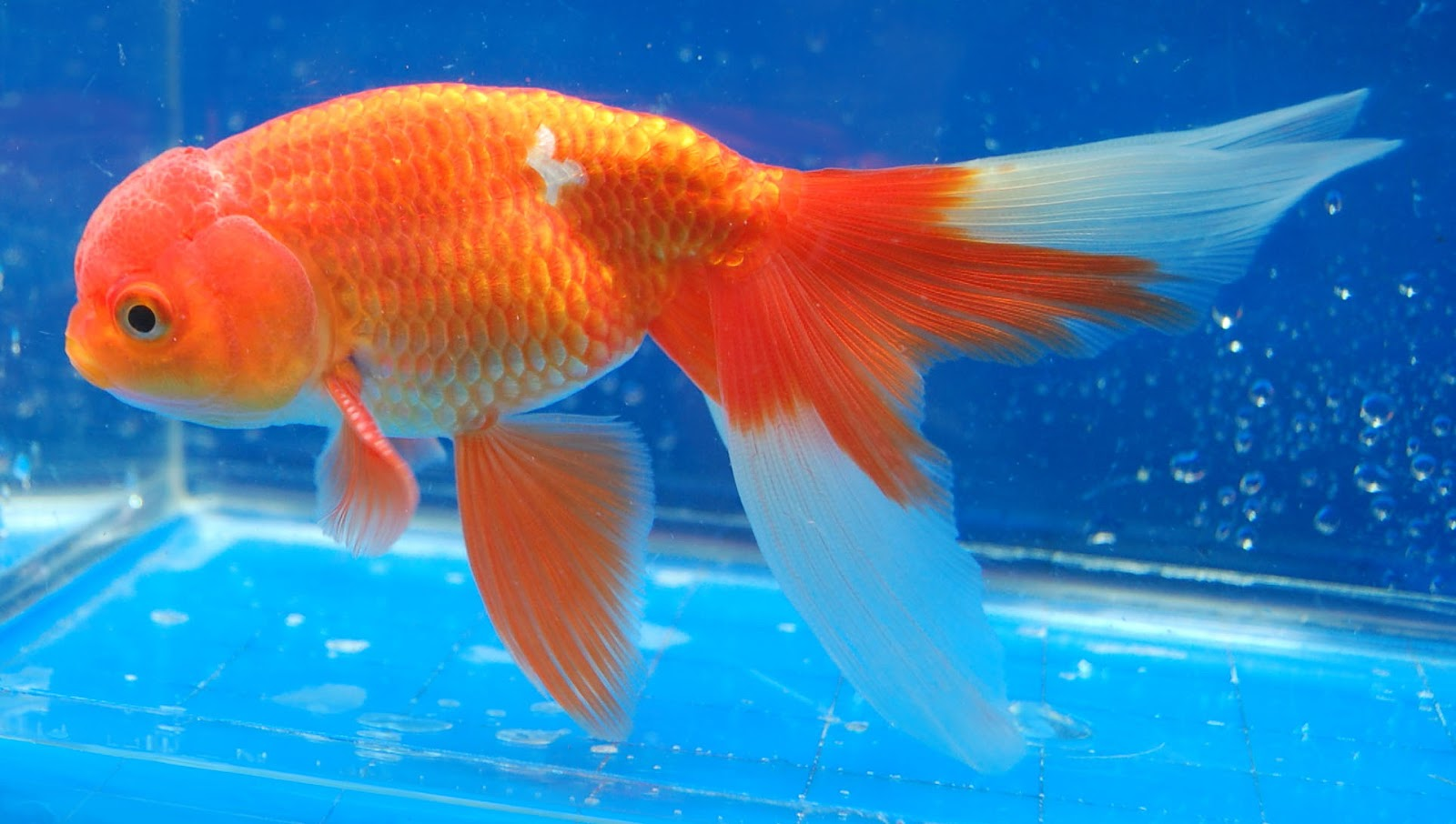 Goldfish Types And Pictures - www.proteckmachinery.com