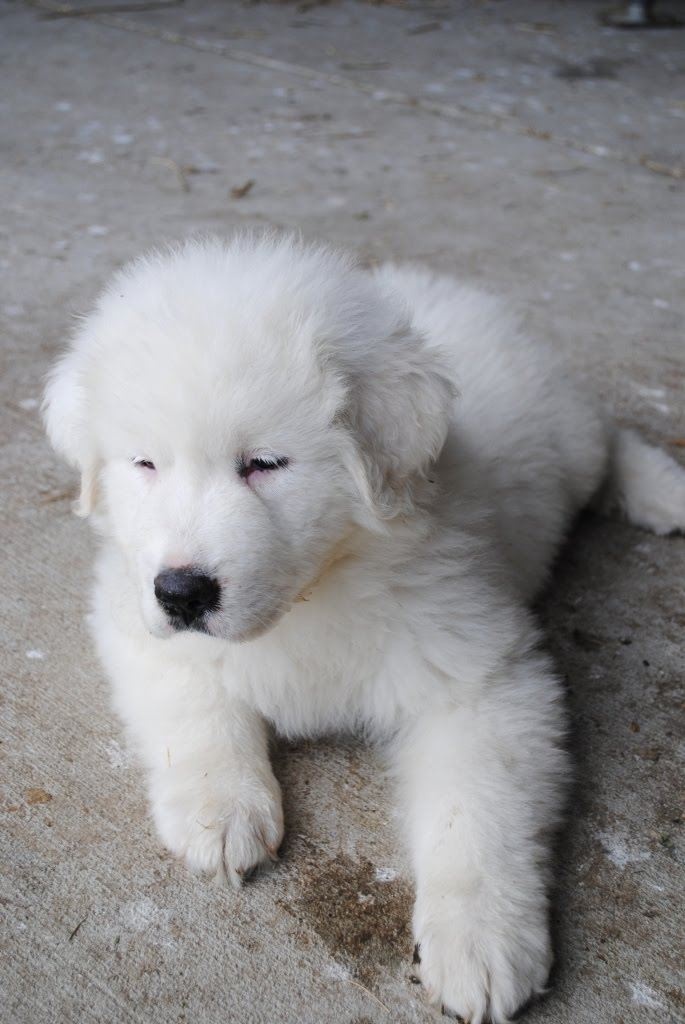 Beechtree Farm: Male Great Pyrenees Puppy