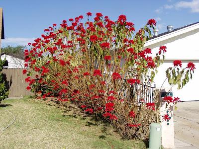 Talea Stella Di Natale.Euphorbia Pulcherrima Poinsettia O Stella Di Natale Blossom Zine