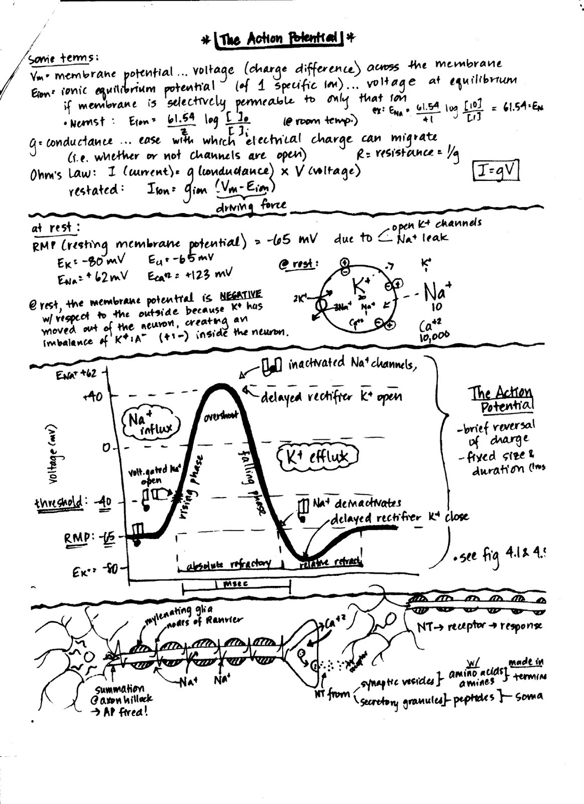 Introduction To Neuroscience Neur The Neuron Action Potential Review Sheets