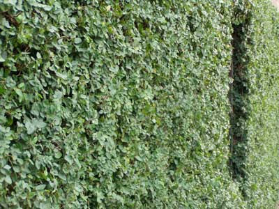 Gogardennow Luxuriant Evergreen Creeping Fig