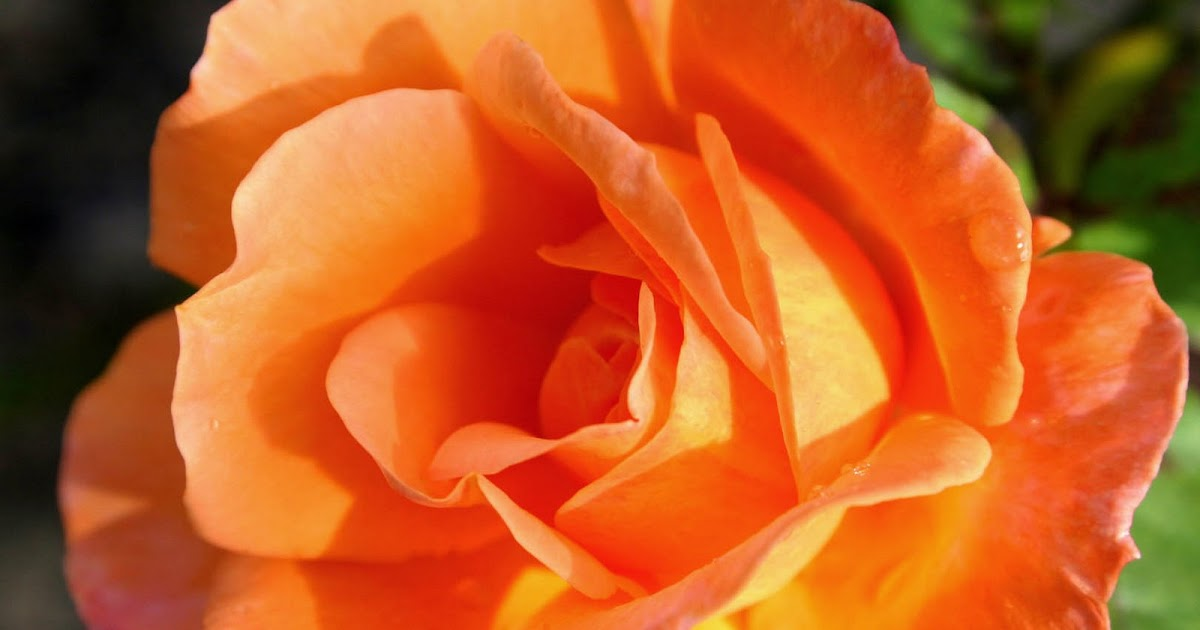 Single Flowers Rose Daffodil Carnation Hd Images